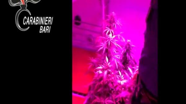 VIDEO | Serra di cannabis alimentata con l'allaccio abusivo: il blitz dei carabinieri