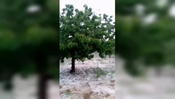 Maltempo nel week-end, agricoltura a pezzi nel Barese: violenta grandinata nel ciliegieto