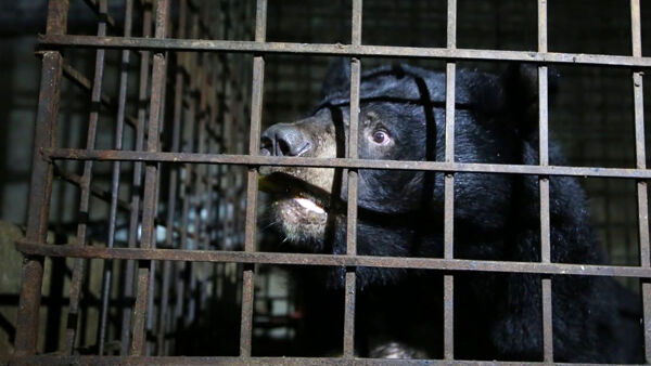 Gli orsi della luna liberati dopo 17 anni