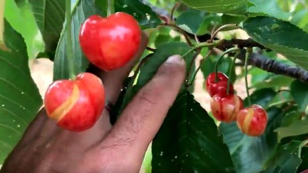 """Grandine e temporali distruggono le coltivazioni di ciliegie 'Ferrovia' nel Barese: """"Danni devastanti"""""""