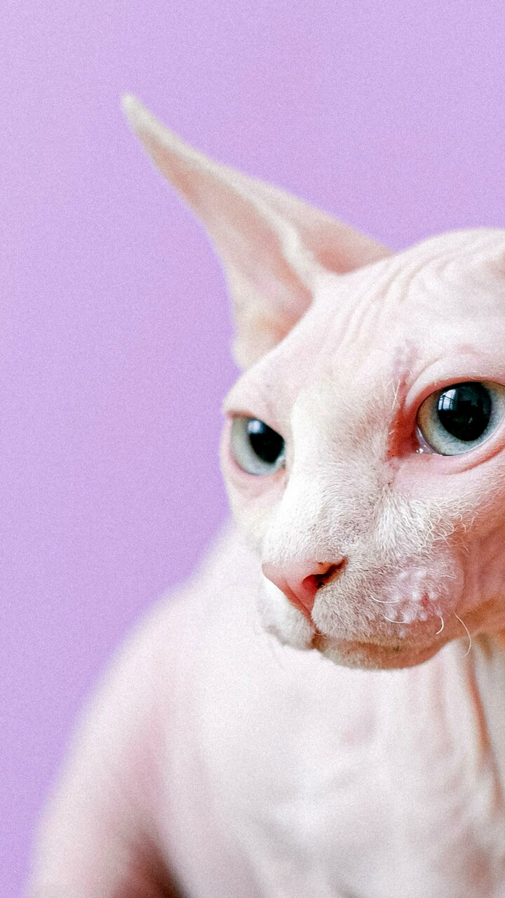 Le 3 razze di gatti più costose al mondo